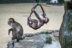 Den japanska macaquen behandla som ett barn att hänga från en vinranka och att spela utanför Arkivbild