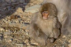 Den japanska macaquen behandla som ett barn sovande på fot för moder` s Royaltyfri Foto
