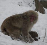 Den japanska macaquen eller snö härmar, Macacafuscataen som gräver i insnöat sökande av mat, med snö på framsidan som ser kameran Arkivfoton