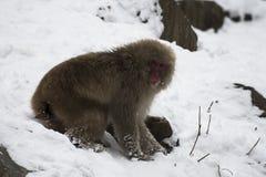 Den japanska macaquen eller snö härmar, Macacafuscataen som sitter på snö, med insnöad bakgrund som ser höger Joshinetsu-Kogen Na Fotografering för Bildbyråer