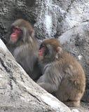 den japanska macaquen härmar snow Arkivfoton