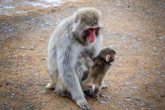 Den japanska macaquen och behandla som ett barn, den Iwatayama apan parkerar, Kyoto, Japan Royaltyfria Foton