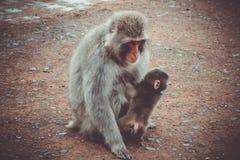 Den japanska macaquen och behandla som ett barn, den Iwatayama apan parkerar, Kyoto, Japan Arkivfoto