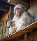Den japanska macaquen på ett tak, watayamaapa parkerar, Kyoto, Japa Arkivfoton