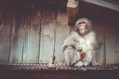 Den japanska macaquen på ett tak, watayamaapa parkerar, Kyoto, Japa Royaltyfria Foton