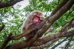 Den japanska macaquen på ett träd, den Iwatayama apan parkerar, Kyoto, Japan Royaltyfri Fotografi