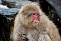 Den japanska macaquen på vaggar Arkivbild
