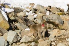 Den japanska macaquen på vaggar Arkivfoton