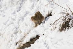 Den japanska macaquen som går ner snöig nedgång med, behandla som ett barn Fotografering för Bildbyråer