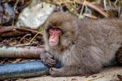 Den japanska macaquen värme sig på ett varmt rör Royaltyfria Bilder