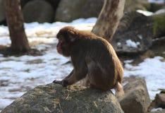 Den japanska macaquen vaggar på Arkivfoton