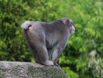 Den japanska macaquen vaggar på Arkivfoto