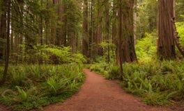 Den Jedidiah redwoodträdet parkerar banaslingan till och med skogen royaltyfria bilder