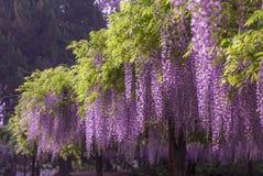 Den Jiading wisteriaen parkerar Arkivbild