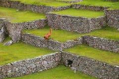 Den jordbruks- stenen terrasserar på Machu Picchu i Peru Arkivfoton