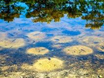 Den Juli fisken lägger rom i en södra Florida våtmark royaltyfri foto