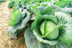 Den kålhuvudet och sågen upp slut och ser detaljerna av grönsaker royaltyfria bilder