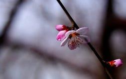 Den körsbärsröda blomningen Royaltyfri Bild