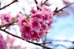 Den körsbärsröda blomningen Arkivbilder