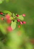 Den körsbärsröda blomningen blommar i skott för vårsolskenmakro Royaltyfri Foto