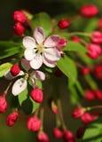 Den körsbärsröda blomningen blommar i skott för vårsolskenmakro Royaltyfria Foton