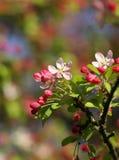 Den körsbärsröda blomningen blommar i skott för vårsolskenmakro Arkivbild
