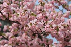 Den körsbärsröda blomningen blommar i trädgård på den Japan mintkaramellen Fotografering för Bildbyråer