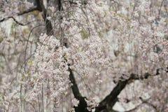 Den körsbärsröda blomningen blommar i trädgård på den Japan mintkaramellen, Arkivfoton