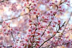 Den körsbärsröda blomningen eller sakura blommar, Chiangmai, Thailand Arkivbilder