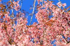 Den körsbärsröda blomningen eller sakura blommar, Chiangmai, Thailand Royaltyfria Bilder