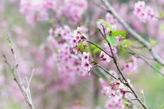 Den körsbärsröda blomningen eller sakura blommar på det Doi angkhangberget chiang Arkivbilder