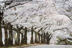 Den körsbärsröda blomningen eller den Sakura tunnelen i japan parkerar Royaltyfri Foto