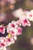 Den körsbärsröda blomningen förgrena sig Arkivfoton