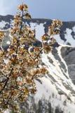 Den körsbärsröda blomningen förgrena sig i snöig maritima fjällängar, Frankrike Royaltyfria Bilder