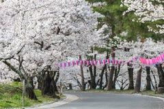 Den körsbärsröda blomningen i Joyama parkerar under den Hanami festivalen, Matsumoto Arkivfoton