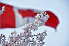 Den körsbärsröda blomningen mot den Kanada flaggan royaltyfria foton