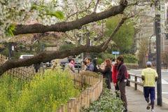 Den körsbärsröda blomningen parkerar Arkivfoton