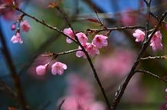 Den körsbärsröda blomningen rosa sakura blommar chiangmai Arkivfoton