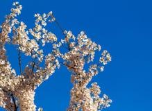 Den körsbärsröda blomningen, sakura blommar på våren, naturen, bakgrund Arkivfoton