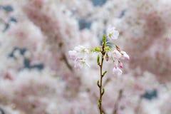 Den körsbärsröda blomningen, sakura blommar på våren, naturen, bakgrund Arkivbilder