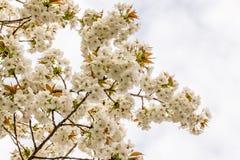 Den körsbärsröda blomningen, sakura blommar på våren, naturen, bakgrund Arkivfoto