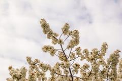 Den körsbärsröda blomningen, sakura blommar på våren, naturen, bakgrund Royaltyfria Bilder