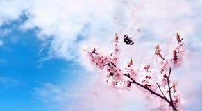 Den körsbärsröda rosa färgen blomstrar tätt upp blomma Cherrytree för blomma för japan Cherryclose för bakgrund blom- tree fjäder royaltyfria bilder