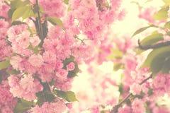 Den körsbärsröda rosa färgen blomstrar tätt upp; blommande rosa körsbärsrött träd med su arkivbilder