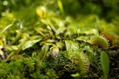 Den k?tt?tande Venus Fly Traps Dionaea muscipulaen och v?xter f?r silesh?rDroseracapensis avs?ndrar digestivkexenzym s, tills kry royaltyfri fotografi