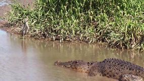 Den Kakadu för den Australien alligatorfloden nationalparken, svärtar den hånglade storken, ephippiorhynchusasiaticusen, alligato