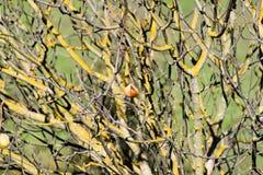 Den Kalifornien buckeyen (Aesculuscalifornica) kärnar ur fröskidor omkring för att falla till jordningen, sylten för prärievargda royaltyfri foto