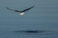 Den Kalifornien fiskmåsen lyfter av från det Salton havet Arkivbilder