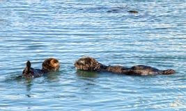 Den Kalifornien havsuttern, moder och behandla som ett barn att ansa och att spela i grunt vatten Arkivbilder