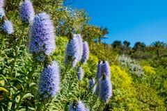 Den Kalifornien lilan blommar busken i solig sommardag i botanisk trädgård Fotografering för Bildbyråer